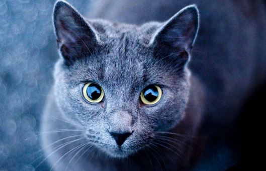 Best Cat Breeds to Adopt